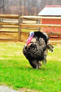 Heritage Breed Narragansett Turkey